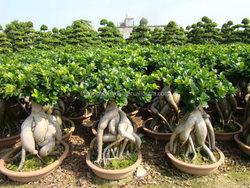 2500 gram Ginseng Ficus Microcarpa