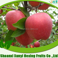 Top good taste Qinguan apple fruit at cheap prices
