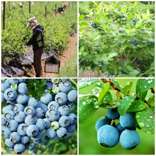 blueberry, View Chile frozen blueberries, High Bush Product Details ...