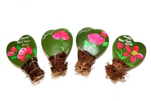 Painted Hoya plants