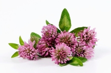 100% Natural 8% 20% Red Clover P.E. Isoflavones