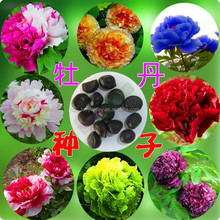 High Quality Peony Paeonia suffruticosa Seed For Growing