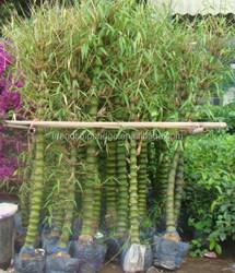 Bambusa ventricosa McClure babusa vulgaris buddha- belly bamboo