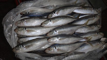new landing horse mackerel,spanish mackerel,indian mackerel