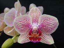 Weiße blume mit lila Streifen und lippe mini orchidee phalaenopsis Gewebe/topfpflanze in taiwan