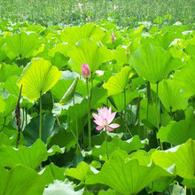 High quality natural lotus leaves extract/lotus leaves extract powder for weight loss