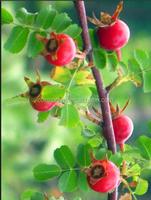 Rosa maximowicziana Regel extract powder, Dahurian Rose Fruit extract