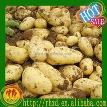 2015 new arrival hot sale China Fresh Potato