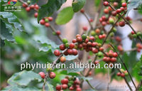 High quality coffee berry extract,coffee berry extract,coffee berry