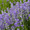 100% lavender seeds Flowers Seeds For Sale