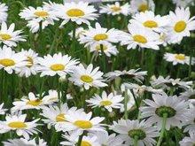 White Fresh Cut Chrysanthemum flower