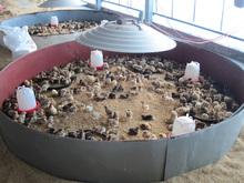 gas incubating brooder