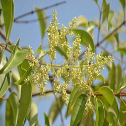 Oleanic acid 98% Glossy Privet Fruit Extract Ligustrum lucidum extract