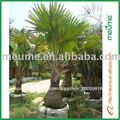 Los árboles de paisajismo al aire libre plantas de palma - bismarckia nobilis