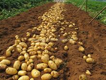 2014 Fresh Crop Potato