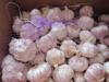 New crop fresh red garlic with 10kg carton box
