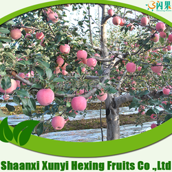 Sweet Red Fuji Apple Fruit on Hot Sale from China