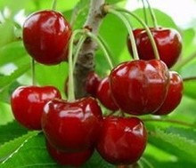 High Cost Performance Acerola cherry extract/Acerola cherry P.E./Organic Acerola extract powder