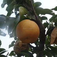 2015 New Crop Singo Pear