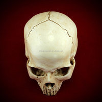 Wholesale life size 1:1 Resin Human Skull Replica for medical teaching
