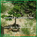 Bonsai ficus microcarpa árboles bonsai en forma reducida-saludo Ficus