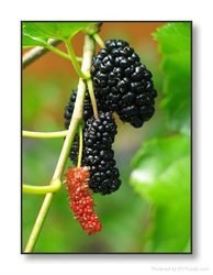 Mulberry Fruit Extract nourish liver and kidney,benefit blood,clear bowel,accelerate skin ,skin whitening