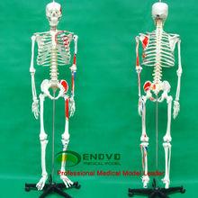 Scientific 170cm Color Skeleton Ligament Medical Teaching Anatomical Model Painted Life Size Human Skeleton