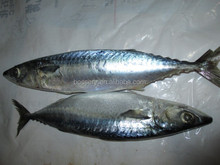 frozen mackerel fish / scomber japonicus