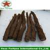 high survive rate topquality sapling paulownia shan tong root cutting