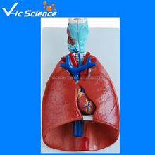 Sistema respiratorio humano modelo, respiratorio modelos
