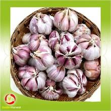 Chinese New crops fresh red garlic 4.5cm-6.0cm / garlic harvester