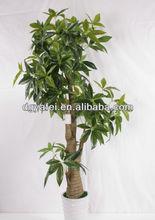 green leaves tree ,ficus bonsa decoration