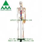 Esqueleto com nervos e vasos sanguíneos ky-102b