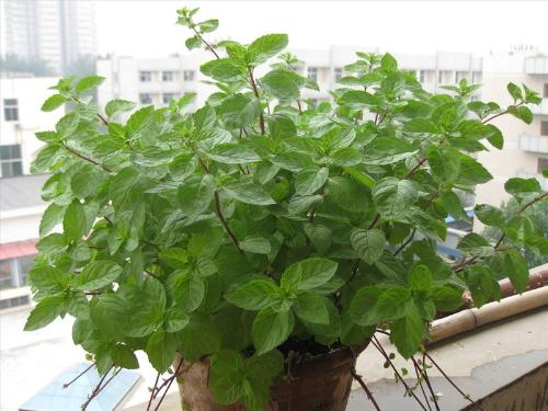 Mentha Piperita Seeds Mentha Piperita Seeds For