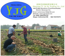 Buy Fresh wet ginger in China hot sale in low price