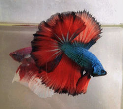 Quality Bettas from Thailand