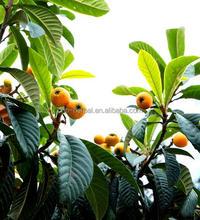 Loquat Leaf Extract/Corosolic Acid