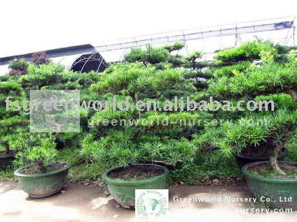 gro e bonsai podocarpus macrophyllus b ume f r den garten. Black Bedroom Furniture Sets. Home Design Ideas