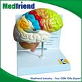 Mfm001 venta al por mayor de China mercancía para la educación modelo