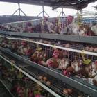 Gaiola de criação de galinhas