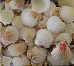 Best Quality Sea Shell Scallops