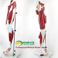[ Sample Order Online ] Free Shipping Advanced Lower Muscled Leg with Knee (13 parts),Muscle Anatomy Model