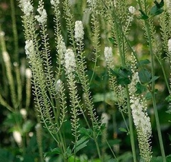 Black Cohosh Extract Triterpene Glycosides