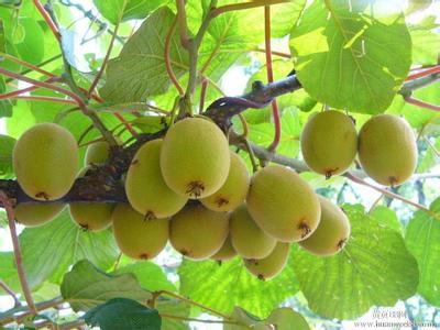 Dried Kiwi Fruit in Hot Sale
