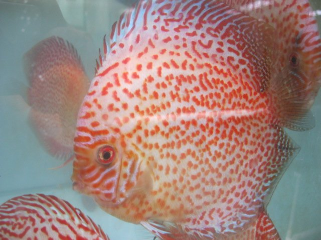 Golden leopard discus fish for Discus fish price