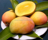 BV manufacturer supply competitive price top quality Mango leaves extract