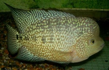 M kamfa flowerhorn fish buy fish product on for Flower horn fish price