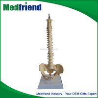 MFM007 Wholesale Products China Teaching Model Medical Model
