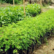 Moringa/Moringa Leaf Powder/Moringa Powder