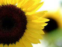 Sunflower Seeds for oil